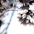 桜が咲いた11