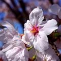 写真: 桜が咲いた17