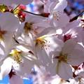 写真: 桜が咲いた18