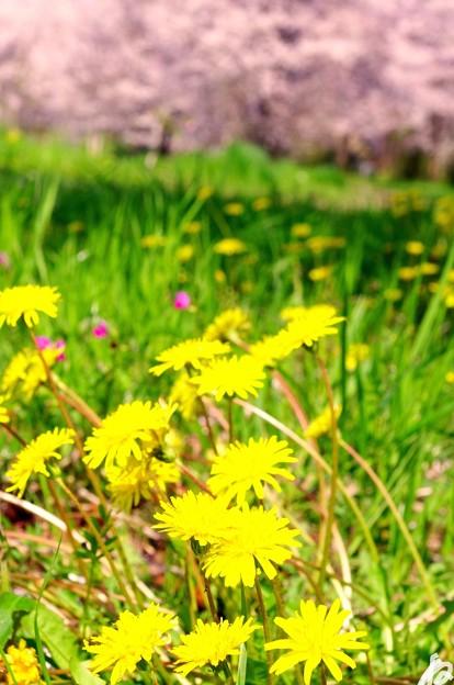 写真: 蒲公英と櫻と春陽気