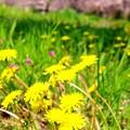 蒲公英と櫻と春陽気