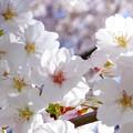 桜が咲いた20