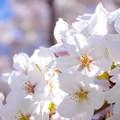 桜が咲いた21