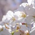 桜が咲いた23