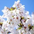 桜が咲いた28