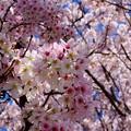 桜が咲いた30