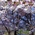 川の上で桜の下で