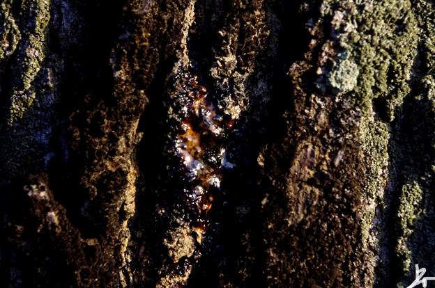 街路樹の樹液