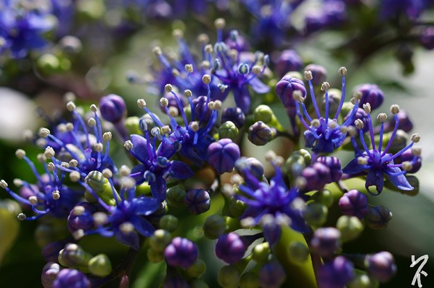 固有種の紫陽花