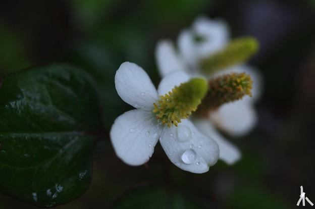 雨の中、ドクダミ