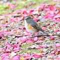 写真: 花のじゅたんのルリビタキ