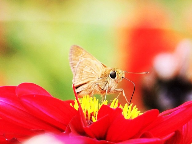赤い花にセセリン♪
