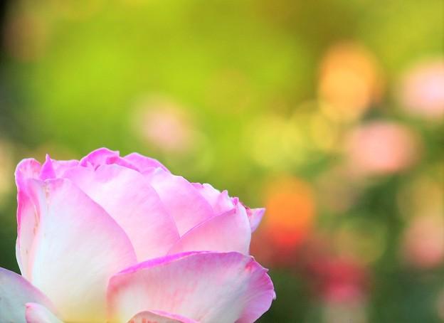 秋薔薇さん