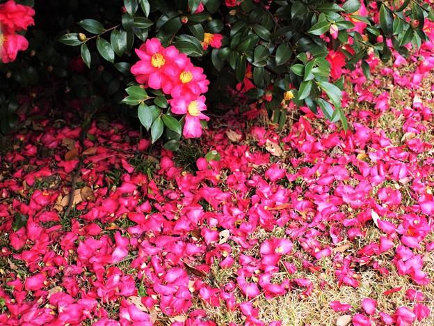 Photos: 花弁の海