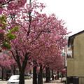 バス停と桜