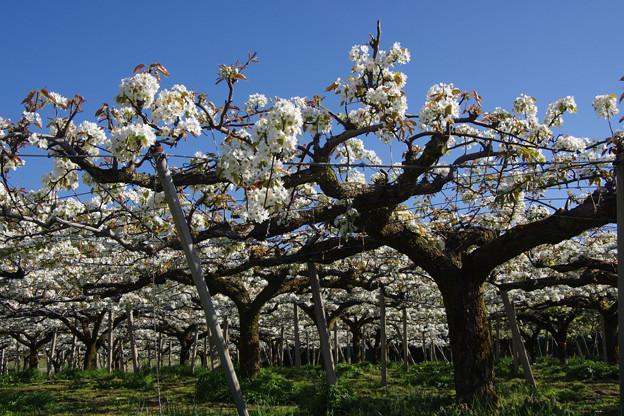 呉羽丘陵の梨畑