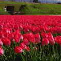 写真: 春風に揺れるチューリップ