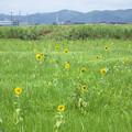 Photos: 野良ひまわり 近景