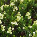 Photos: 立山に咲く、愛らしい花々