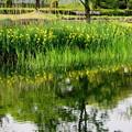 黄菖蒲の生える池