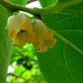 西村柿の花