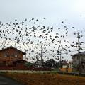 写真: 野鳩