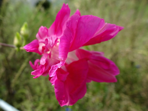 ピンクフラミンゴ