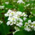 写真: ソバの花