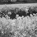 写真: あぜみちの花3