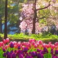写真: 桜とチューリップ