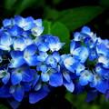写真: 紫陽花開始