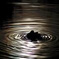 写真: 波紋と鴨