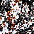 写真: 満開の桜