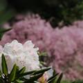 石楠花1-1-