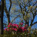 石楠花の里・4