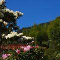 石楠花の里・5
