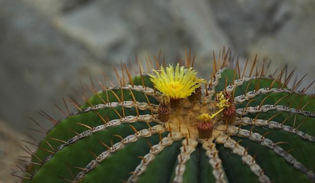 サボテンの花1-5