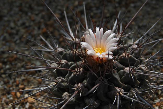 サボテンの花2-4