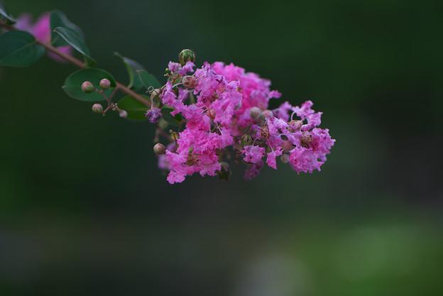 長月の花4