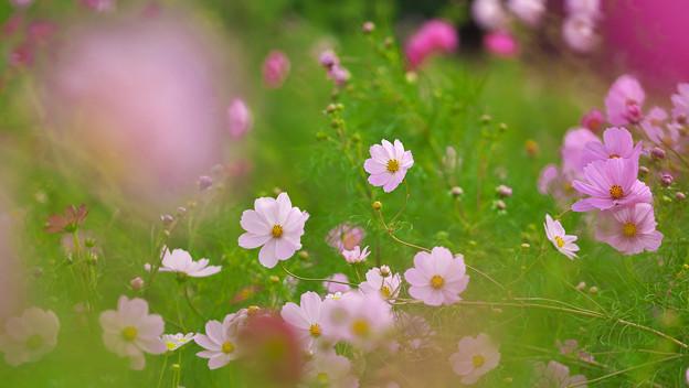 秋桜5-4