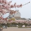 姫路城の桜(3)