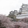 姫路城の桜(9)