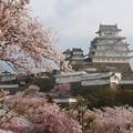姫路城の桜(13)