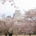 姫路城の桜(14)