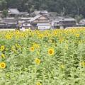 写真: 佐用町ひまわり畑(5)
