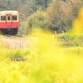 写真: 小湊鐡道 石神の菜の花