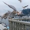 写真: カモメ飛ぶ    2