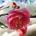 写真: 雪の紅梅