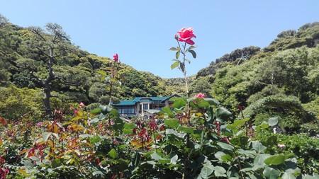 鎌倉文学館とバラ