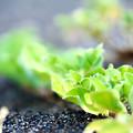 海水彩る海辺の草露